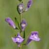 THUMB_Scutellaria_integrifolia flower SEF