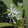 THUMB_Smilacina stellata flower JH