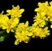 THUMB_Solidago_sphacelata_flower_[1]