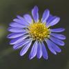 THUMB_Symphyotrichum_patens flower SEF