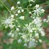 THUMB_Thalictrum pubescens flower LBJ
