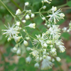 THUMB_Thalictrum pubescens flower LBJ
