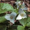 THUMB_Trillium flexipes plant LBJ