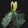 THUMB_Trillium luteum plant LBJ