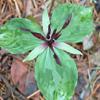 THUMB_Trillium stamineum plant LBJ