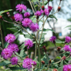 thumb_vernonia-glauca-north-creek-nurseries