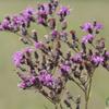 THUMB_Vernonia_gigantea plant SEF