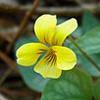 THUMB_Viola hastata plant wikipedia