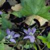 THUMB_Viola palmata leaves LBJ