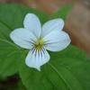 THUMB_Viola striata flower closeup LBJ