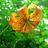 Turks cap lily Thumb