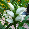 Chelone glabra