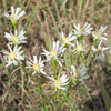 UPLAND WHITE ASTER_Thumb