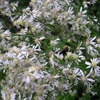 White Arrow Leaved Aster