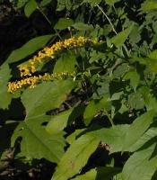 Solidago ulmifolia