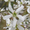 THUMB__Canadian_Serviceberry_Amelanchier_canadensis_flower_WIKI