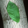 THUMB_Allegheny_Serviceberry_Amelanchier_laevis_WIKI