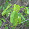 THUMB_Berchemia_scandens_Alabama_Supplejack_rattanvine_WIKI