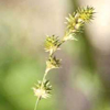 THUMB_Carex normalis UWSP Andrew Hipp