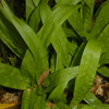 THUMB_Carex_plantaginea_plantain_sedge1_John_hilty