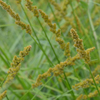 THUMB_Carex_vulpinoidea_Fox_Sedge_prairie_moon