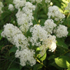 THUMB_Ceanothus-americanus-New-Jersey-Tea-plant_Prairie_moon