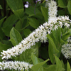 THUMB_Clethra acuminata flowers leaves LBJ