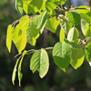 THUMB_Common_Serviceberry_Amelanchier_arborea_leaves_Wiki_Dcrjsr
