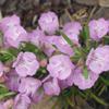 THUMB_Cumberland_rosemary_Conradina_verticillata_WIKI