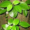 THUMB_Decumaria barbara 3 wiki