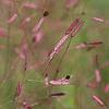 THUMB_Eragrostis_Spectabilis_pp_lovegrass1_John_hilty