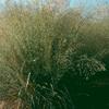 THUMB_Eragrostis_trichodes_Sand_Love_Grass_WIKI
