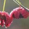 THUMB_Euonymus americanus berries W