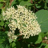 THUMB_Hydrangea arborescens flowers leaves2 LBJ