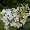 THUMB_Hydrangea quercifolia flowers SEF