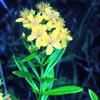 THUMB_Hypericum_densiflorum_RHW