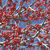 THUMB_Ilex decidua berries SEF