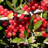 THUMB_Ilex vomitoria berries SEF