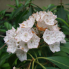 THUMB_Kalmia latifolia flowers W