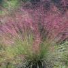 THUMB_Muhlenbergia capillaris2 LBJWC