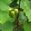 THUMB_muscadine_grape_vitis_rotundifolia_2_WIKI