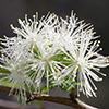 THUMB_Neviusia alabamensis flower closeup SEF
