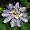 THUMB_Passion_Flower_Passiflora_incarnata_WIKI