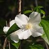 THUMB_Philadelphus hirsutus flower SEF