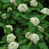 THUMB_Physocarpus opulifolis flowers leaves PM