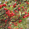 THUMB_Red_Chokeberry_Photinia_pyrifolia_WIKI