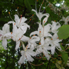 THUMB_Rhododendron arborescens flower LBJ