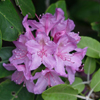 THUMB_Rhododendron catawbiense flowers leaves
