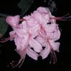 THUMB_Rhododendron prinophyllum flower LBJ