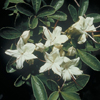 THUMB_Rhododendron viscosum flowers leaves LBJ